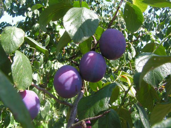 fermentatie prune de tuica